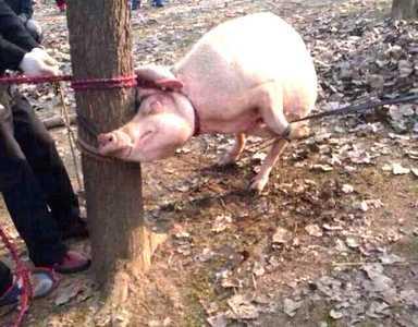 猪体内发现孩子头骨 男童被曝与猪共处