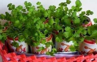 水培香菜种植方法 香菜的根可以水培吗
