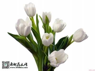 郁金香鲜切花的养护方法 郁金香的养殖方法