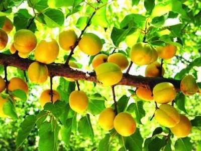 爱吃杏子的人有福了 吃杏有什幺好处