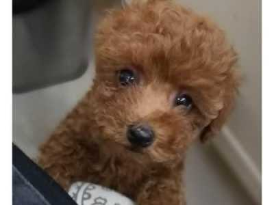 当女子听医生说只能活三天时瞬间泪奔 泰迪幼犬得了细小抽了