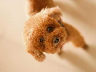 泰迪狗狗身上为什幺会长白毛 棕色泰迪怎幺会有白毛