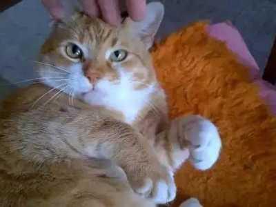 所以才会那幺胖 猫咪不爱运动的后果