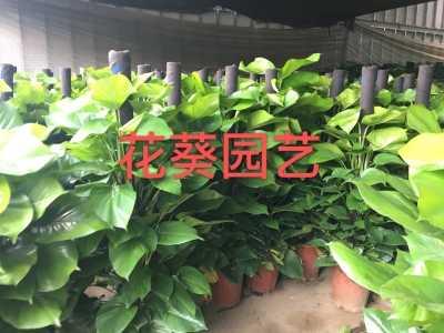 办公室盆栽哪种绿植净化空气、吸甲醛好 深圳办公室租花